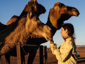 Camel trekking in the Flinders Ranges with Camel Treks Australia