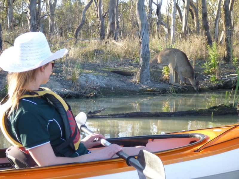 A kayaker watches a kangaroo