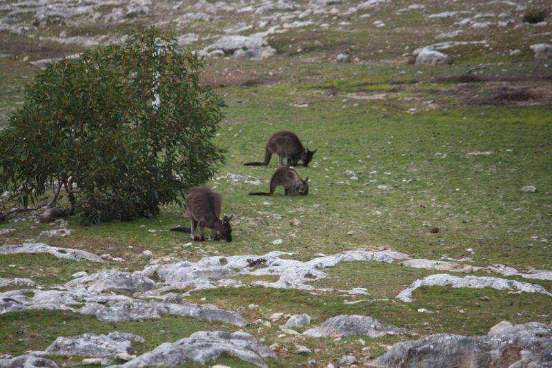 Cape Borda kangaroos