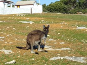 Cape Borda kangaroos