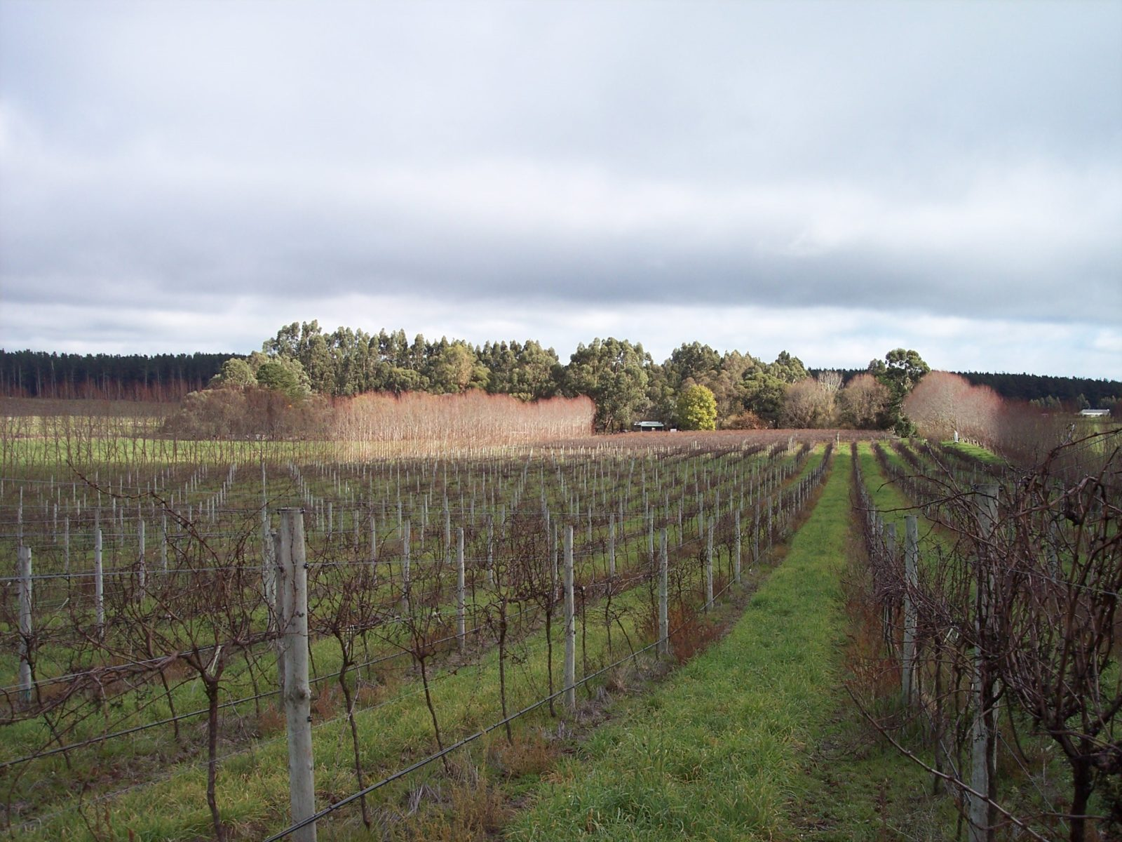Caroline Hills vineyard in winter