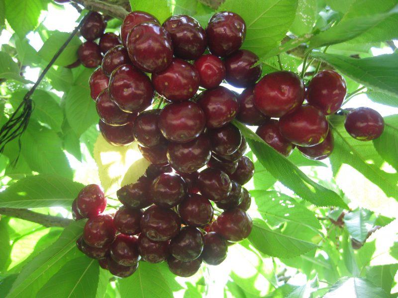 Love fresh cherries!!