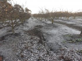 A heavy May frost in the pistachio orchard
