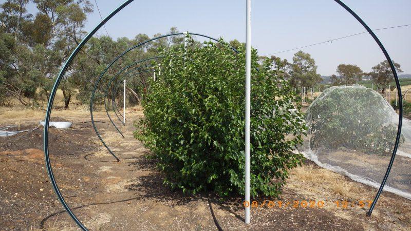 Black mulberries post harvest