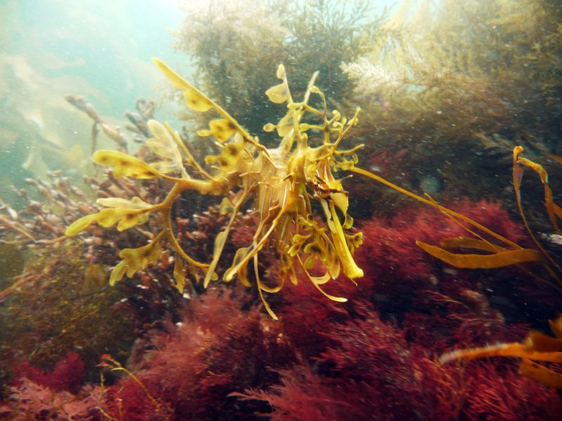 Leafy Sea Dragon - Diving Adelaide
