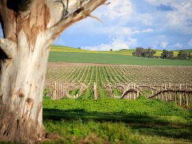 Tanunda Hill Vineyard