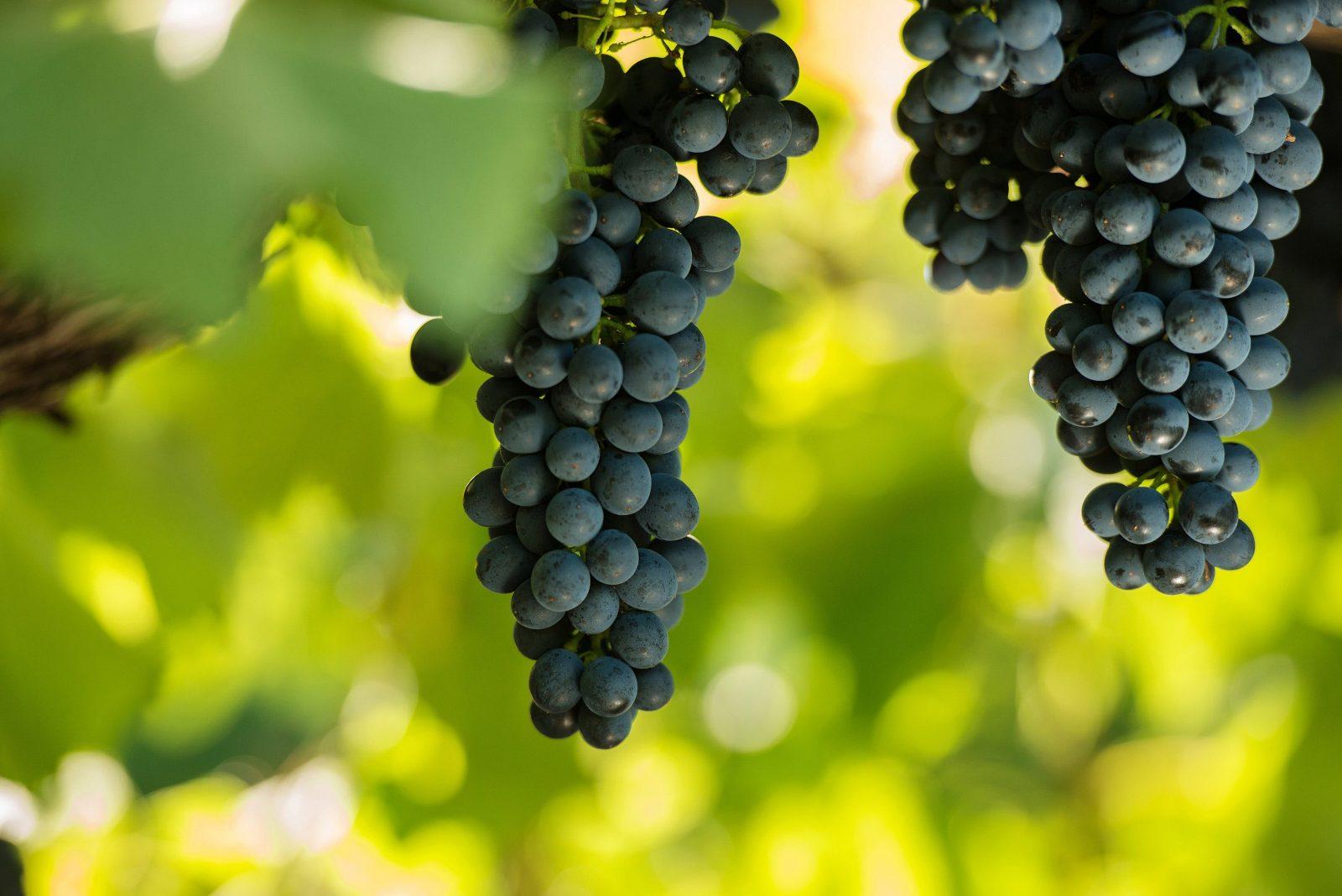 Shiraz grapes ripe and ready to hand