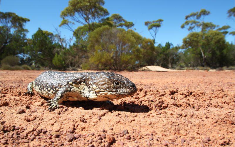 gawler-ranges-stumpy-lizard