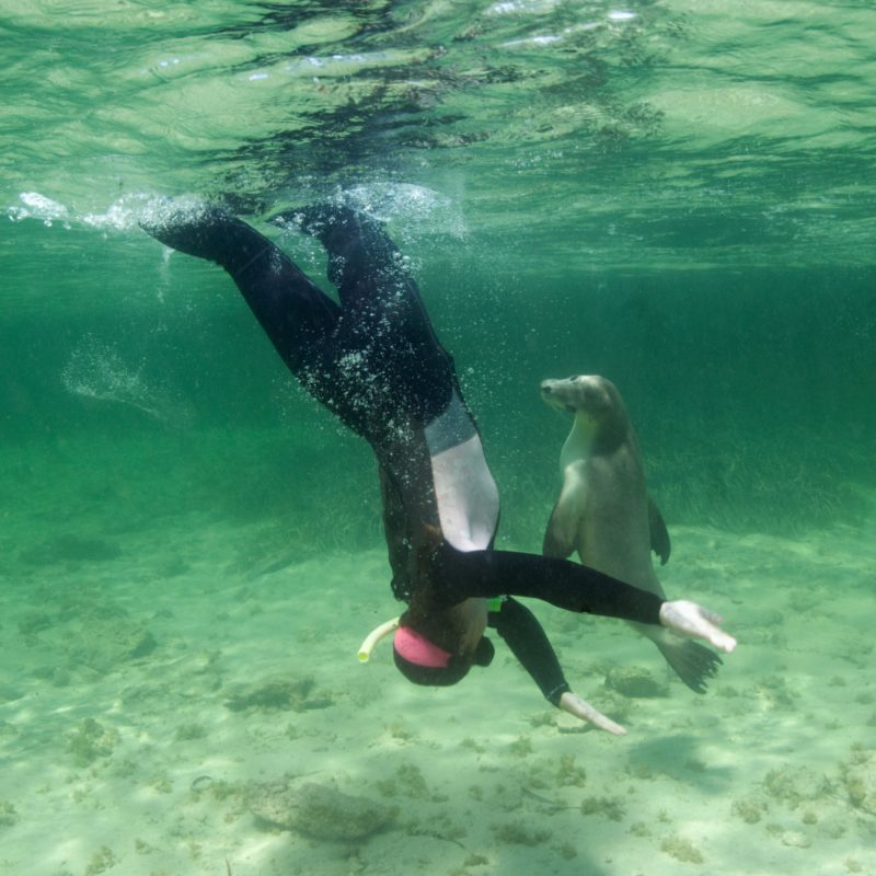 Swimming with Sea lions is a part of our experience at Baird Bay
