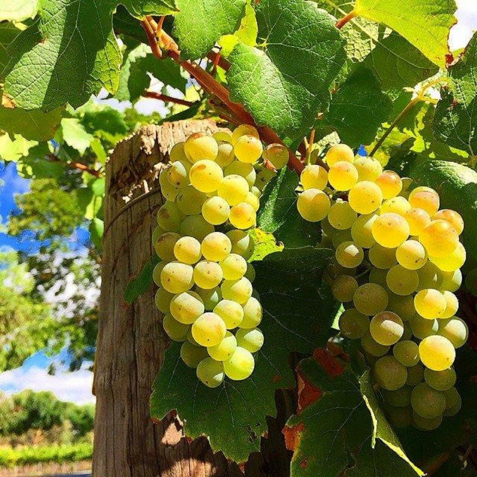barossa grapes