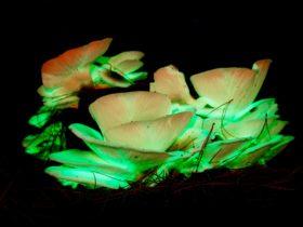 The bio luminescent Ghost Mushroom