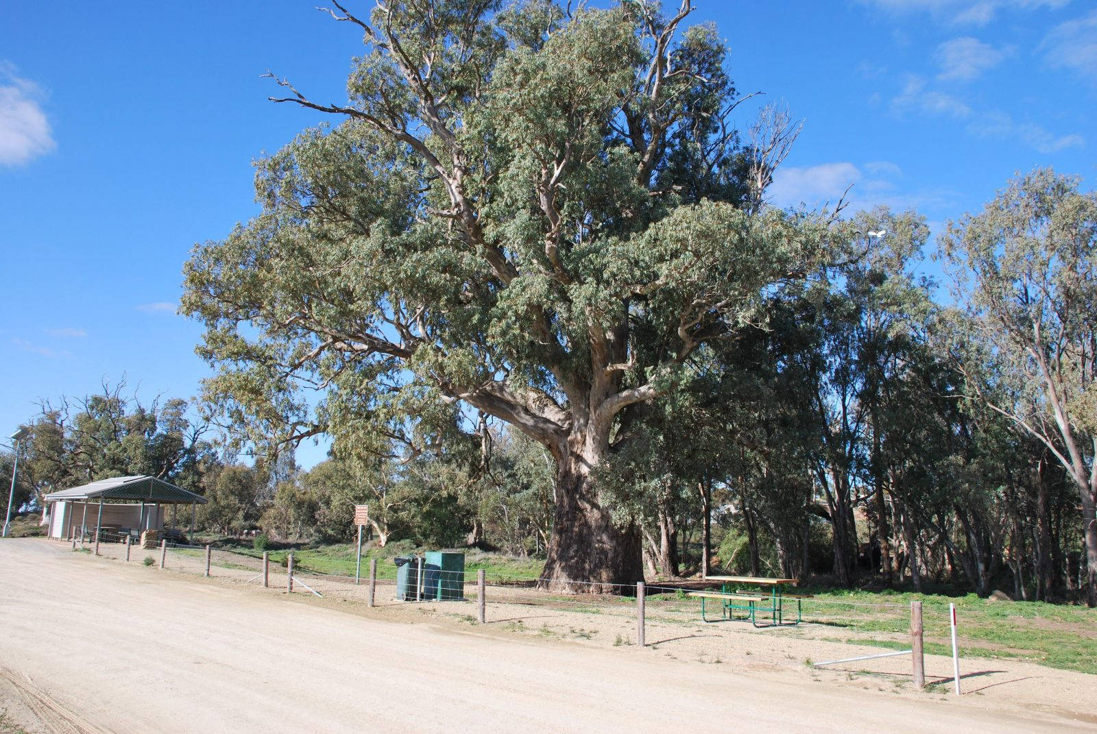 This is the giant Gum Tree