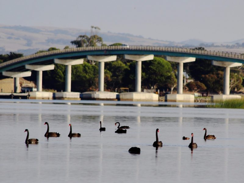 Black swans and one of South Australia's most controversial developments, the HI bridge