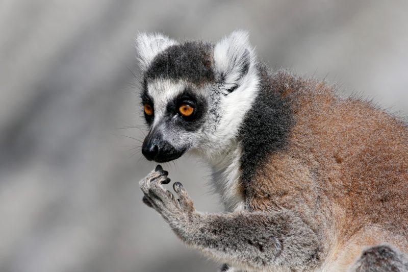 Ring-tailed Lemur Gorge Wildlife Park