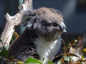 Koala, Gorge Wildlife Park, Cudlee Creek SA
