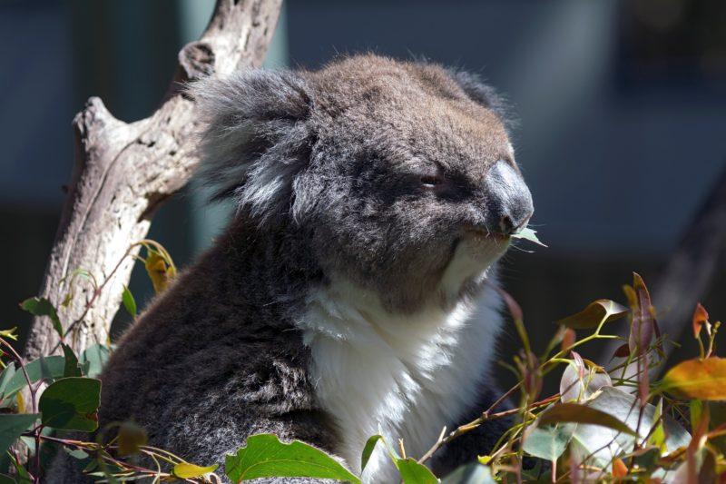 Koala, Gorge Wildlife Park, Cudlee Creek SA