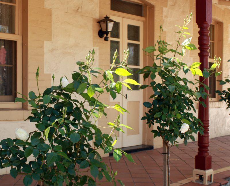 cottage exterior - lovely white roses