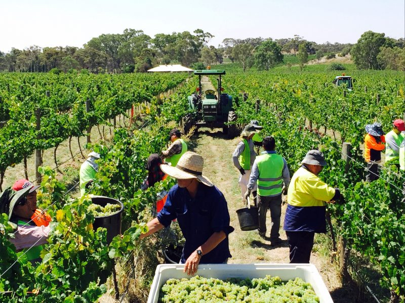 Hand picking the Springvale Vineyard