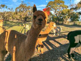 Zena the alpaca