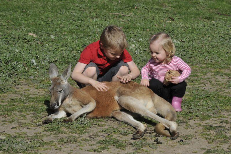 Kangaroo feeding at Hahndorf Farm Barn