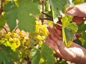 Gruner Veltliner grapes at Hahndorf Hill