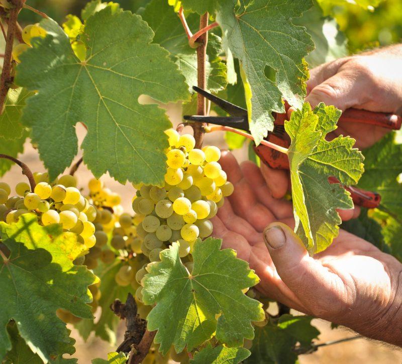 Gruner Veltliner grapes at Hahndorf Hill