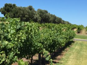 Healthy vines in the Barossa 2018