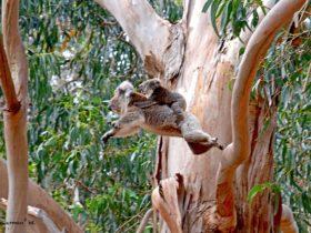On the move in the Koala Walk