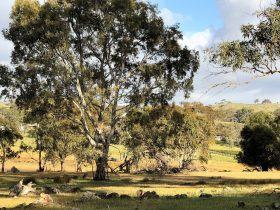 A beautiful gum tree on the property with view of the vineyards in the background.