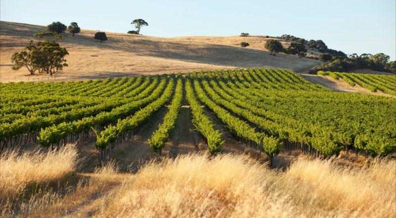 Award winning Semillon Block up the back of the vineyard