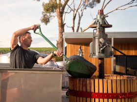 Winemaker digging out fermented grapes into basket press