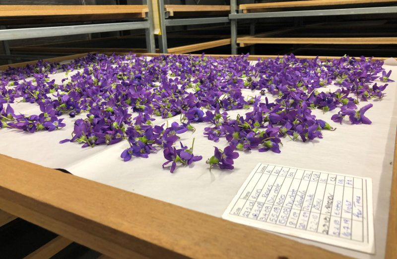 Violets laid out on drying rack