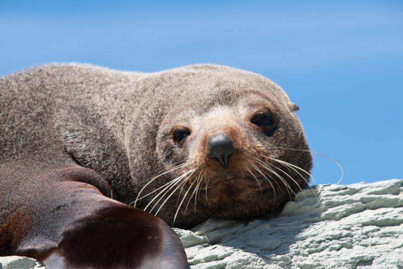 Kangaroo Island Ocean Safari Seal
