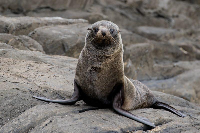 Long Nosed Seal on Dudley Peninsula with Kangaroo Island Ocean Safari