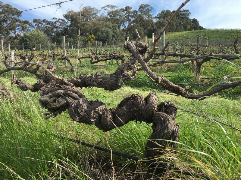 Block 6 Shiraz in Spring, planted in 1892