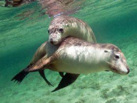 Sea lions at Baird Bay, Eyre Peninsula, South Australia