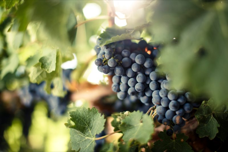 Lambert Estate grapes on the vine