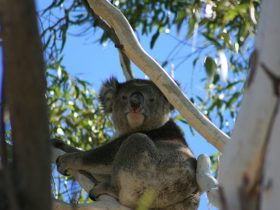 We are very lucky to have visits from local Koalas.