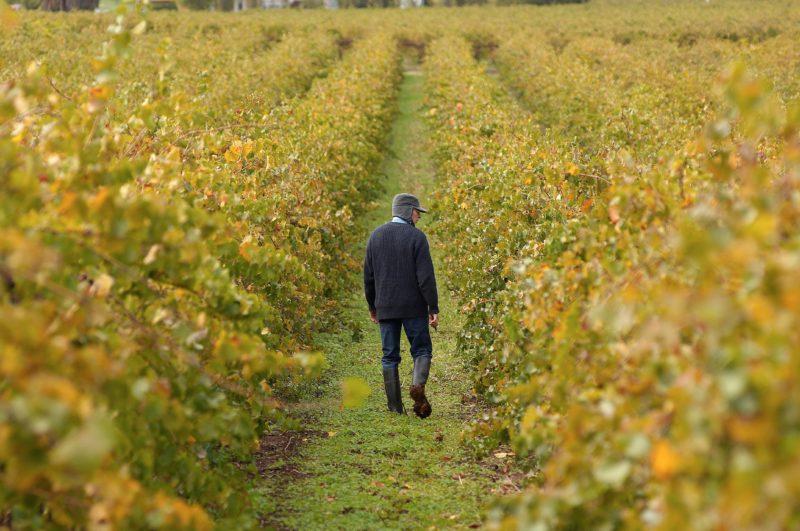 Winemaker Ron Liebich inspecting vineyard