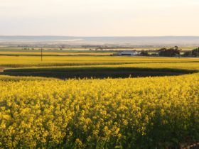 Canola & view across Blyth Plains fro Lomandra Walk Trail