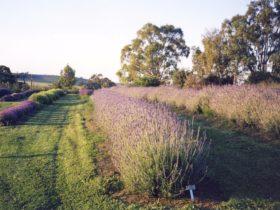 A Lavender landscape
