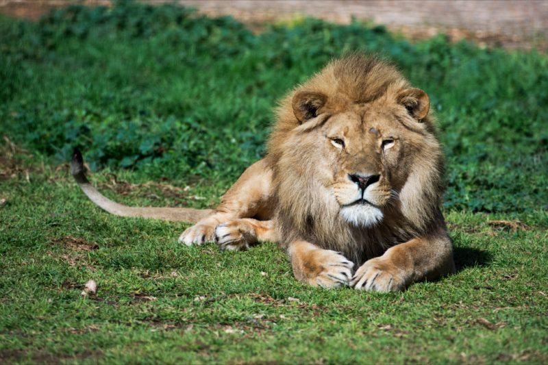 Monarto Zoo African Lion