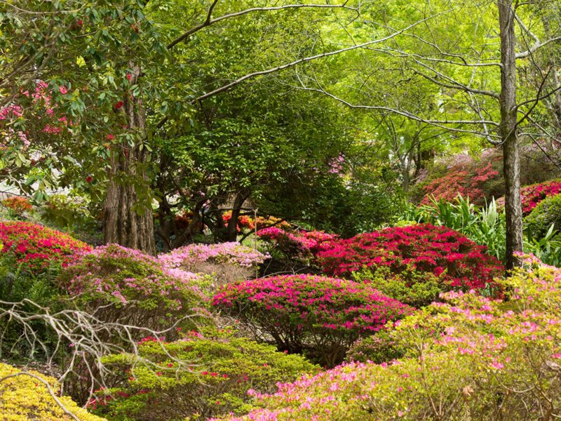 Mount Lofty Botanic Garden's Rhododendron Gully is a sea of colour in spring.