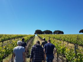 McLaren-Vale-wine-tour-vineyard-Camwell-New-World-Wine-Tour-Co