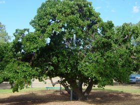 Old Mulberry Tree