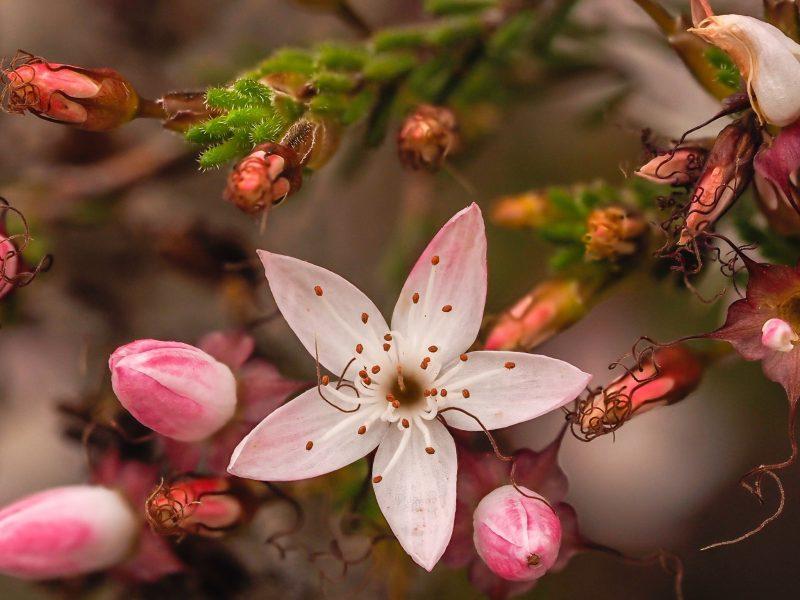 Calytrix Teragona