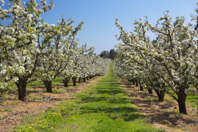 Pear trees in full bloom