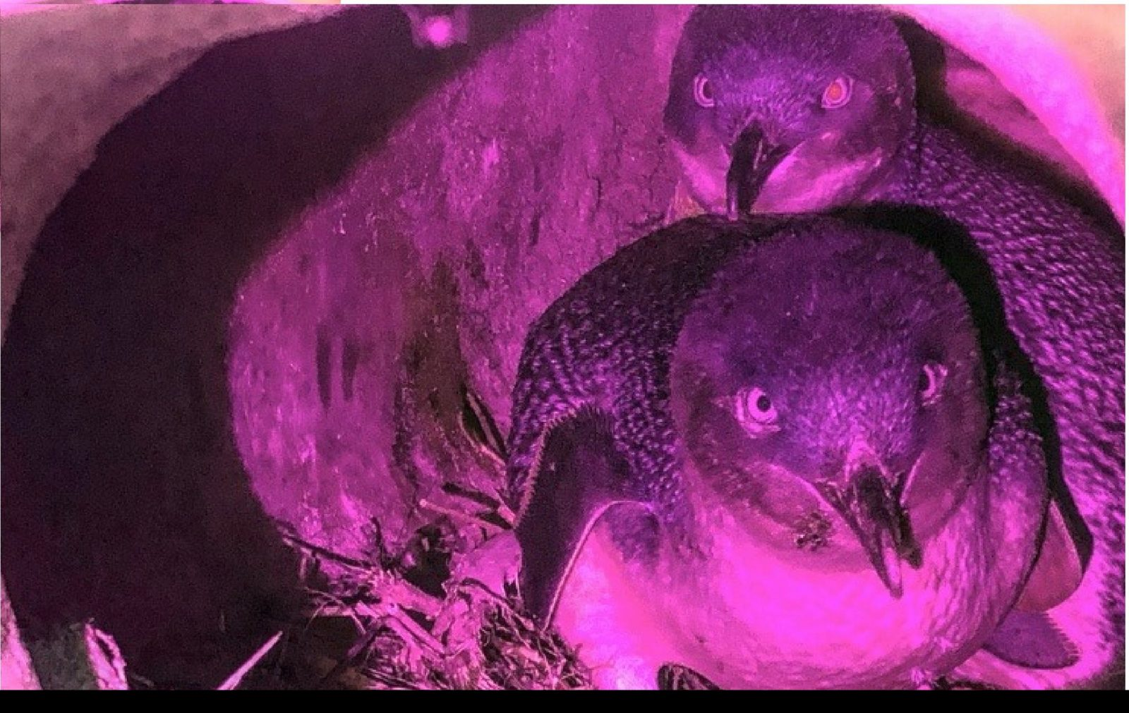 Hiding away from predators in their burrow, two adult little penguins look toward the burrow opening