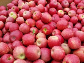 Apples at picking