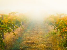 Morning of in the Insurance Block Vineyard